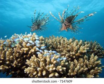 2 lionfish hunting smaller fish