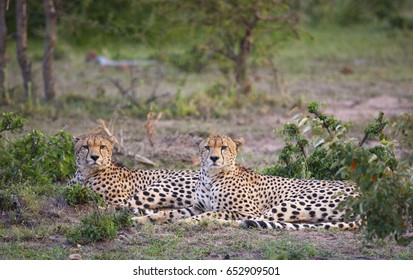 2 Male Cheetahs lying down in Kenya's Masai Mara National Park at Sunset