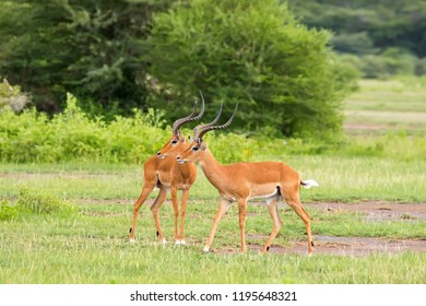2 Male Impala, antelope with beautiful lyre-shaped horns and lots of bugs standing on open Serengeti plain in Tanzania, East Africa