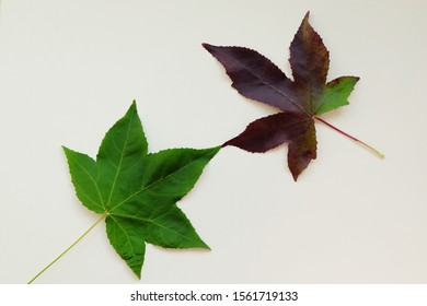 2 Maple leaves isolated on white background. Connection concept idea.
