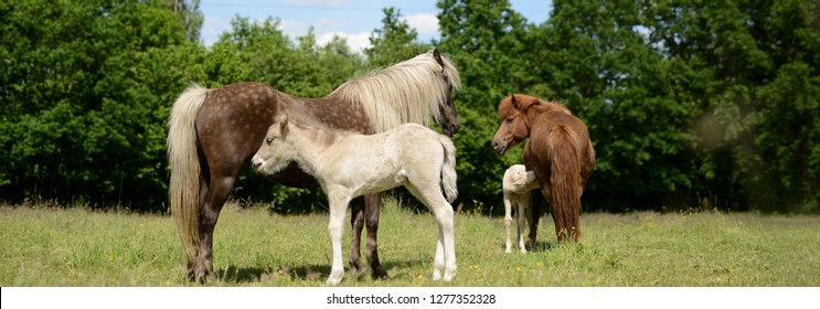 2 mares and foals, Young horse mothers breastfeed little foals in summer 2020