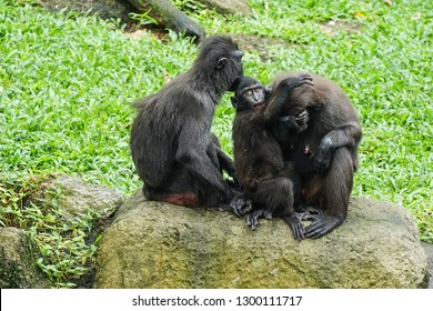 2 monkeys cuddle with their baby