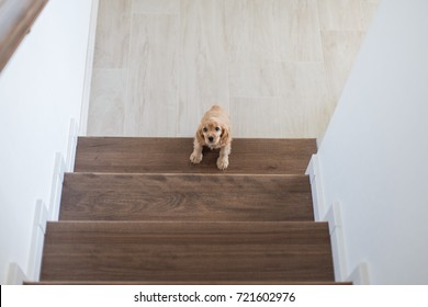 2 month old cute english cocker spaniel puppy on the stairs, indoors