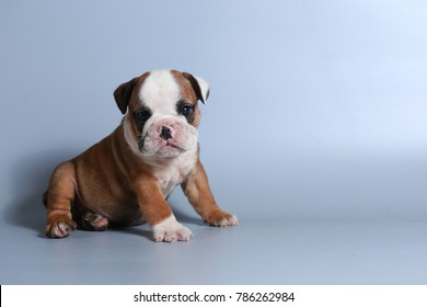 2 month purebred English Bulldog puppy on gray screen