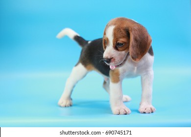 2 months beagle puppy sit down and looking camera on blue screen