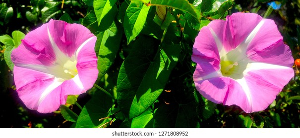 2 Morning Glory Flowers in the sun in Maine