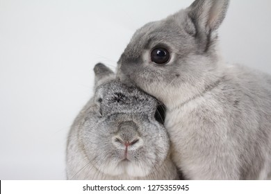 2 Norwegian grey rescue rabbits, brother and sister. Black and white photo.