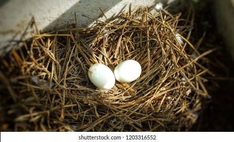 2 pigeon eggs in bird's nest.