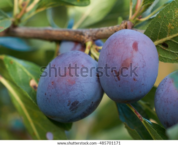 2 plum on branch