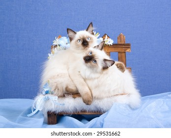 2 pretty Ragdoll kittens on wooden bench decorated with blue flowers