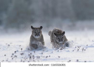 2 pumas in snow, winter scene with pumas, attractive scene with 2 pumas playing in snow