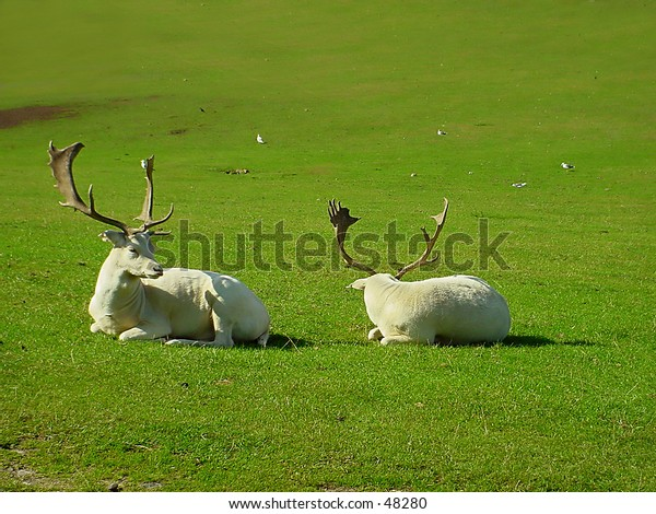 2 Reindeers in a National Park in England
