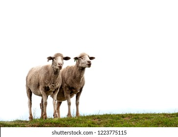 2 sheep isolated against white sky with a patch of grass