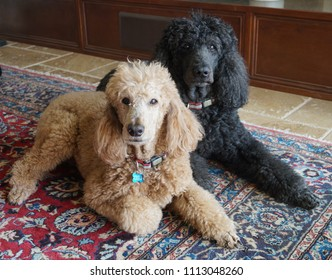 2 standard poodles laying on a rug - indoors