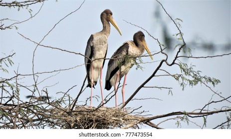 2 storks beside their nests at Okhla Bird Sanctuary