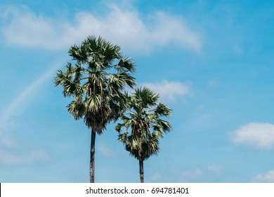 2 sugar palm trees on blue sky