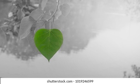 2 tone image of Bo leaves in green,Green heart-shaped leaves with the water and in the morning light as background. Photo contain burry and soft focus.