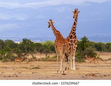 2 two reticulated Giraffe Giraffa camelopardalis tippelskirchii pass by meet and greet hello at waterhole Ol Pejeta Conservancy Kenya East Africa sunny warm happy day with wildlife adventures