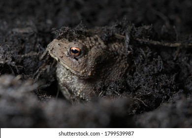 2 - Vibrant orange eye stands out as this toads face peeks out from under the compost the toad is hiding in. Side view