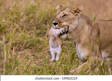 2 weeks old lion cub is carried by its mother in the mouth in Masai Mara, Kenya