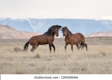 2 wild mustangs in Wyoming
