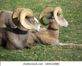 2 wild, but relaxing Bighorn Sheep sunning themselves at Bighorn Park on Villie Drive, located in Boulder City, Nevada, USA.