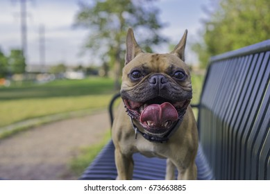 2 Year old french bulldog standing on a park bench