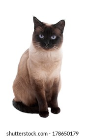 2 year old siamese cat in seal-point
