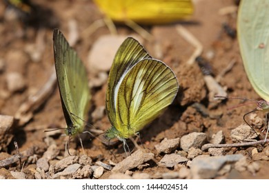 2 yellow butterfly in national park thailand