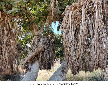 200 years old tree near thar