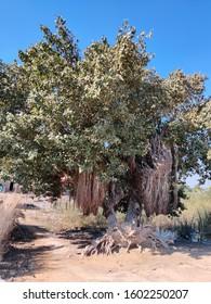200 years old tree in thar desert sindh pakistan