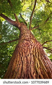200 years old tree tipuana tipu