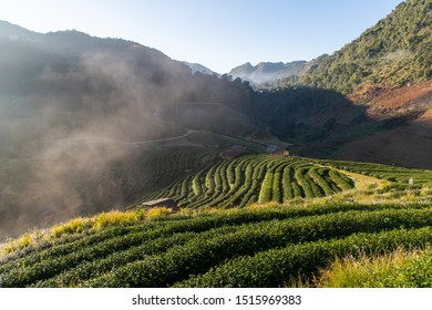 2000 Tea plantation – Rai-cha sawng pan Doi Ang khang of Doi (hills) in northern Thailand