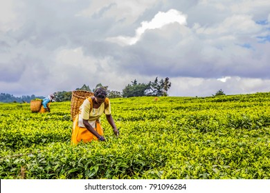 2017 Sept 5 Nandi Hills, Kenya. Woman with wicker basket on her back, hand picking tea leaves. Tea is grown, picked in hot moist climates, with good rainfall, well above sea level, across the world.