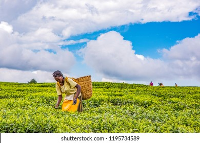 2017 Sept 5 Tea Estate, Nandi Hills, Kenya. African woman harvesting high quality tender tea leaves & flushes by hand. Labor intensive agriculture. Black tea. Africa.