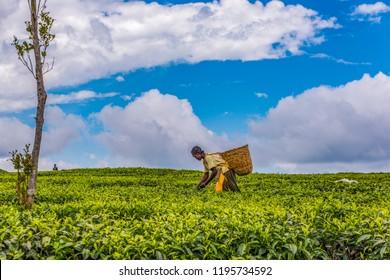 2017 Sept 5 Tea Estate, Nandi Hills, Kenya. African woman harvesting high quality tender tea leaves & flushes by hand. Labor intensive agriculture. Black tea. Africa.