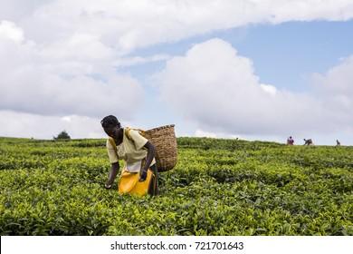 2017 Sept 5 Tea Estate, Nandi Hills, Kenya. African woman harvesting high quality tender tea leaves & flushes by hand. Labor intensive agriculture. Black tea. Between Iten & Eldoret. Camellia sinensis