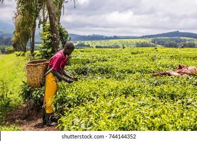 2017 Sept 5, Tea Estate, Nandi Hills, Western Kenya highlands. African man harvesting high quality tender tea leaves and flushes by hand. Rain coats drying on bushes. Labor intensive agriculture.