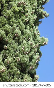 2017-02-25 pine with cones Argentina grasslands