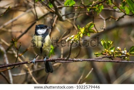 2017/05/03 - Extremely detailed closeup of beautiful Great Tit (parus major) sitting on branch looking straight at wildlife photographer Magnus Borg, quadriplegic and paralyzed from neck down.