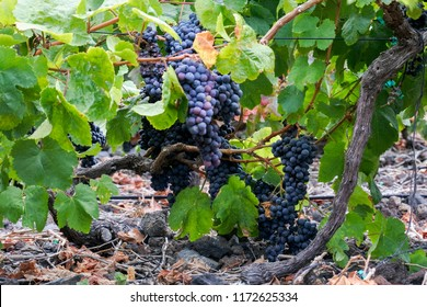 2018 September- 05. On the Canary Island of El Hierro grape harvest begins.
