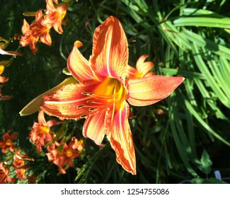 'The Cat's Meow' (2018) - This splendid beauty (The Tiger Lily) is definitely named after one of nature's most beautiful mammals!