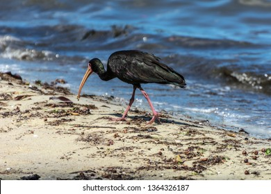 2019, January. Florianopolis, Brazil. Black bird with a big beak standing near a lake, in Florianopolis, Brazil. The bird is the tapicuru, Phimosus infuscatus, and the lake is the Conceicao Lagoon.