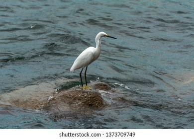 2019, January. Florianopolis, Brazil. White heron on a rocky region near the sea, in Pantano do Sul, Florianopolis, Brazil.