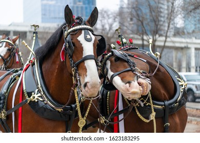 2020 Nashville Christmas parade with the Budweiser Clydesdale horses.