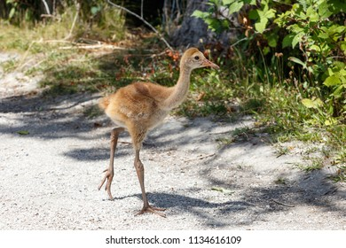 21 days sandhill crane baby at Reifel Bird Sanctuary, Vancouver BC Canada