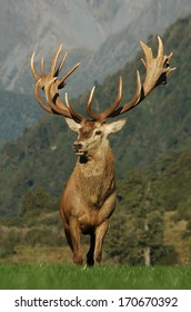 21 point red deer stag rated at 430 SCI, West Coast, South Island, New Zealand