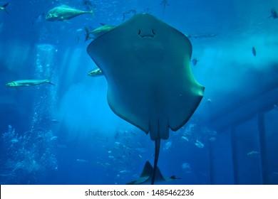 22/8/2019 , Stingray swimming through water inside the massive Kuroshio Tank in Churaumi Aquarium, Motobu, Okinawa , Japan.