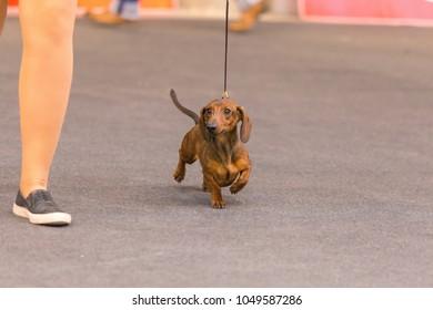 22th INTERNATIONAL DOG SHOW GIRONA March 17, 2018,Spain