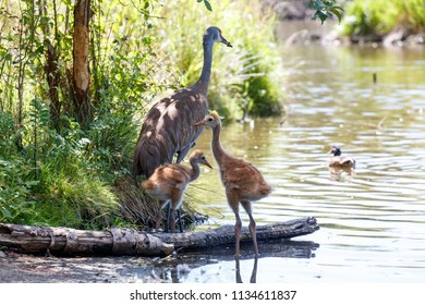 23 and 21 days sandhill crane baby at Reifel Bird Sanctuary, Vancouver BC Canada